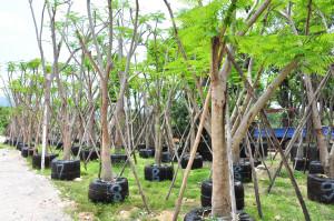 ราคากลางต้นไม้ขุดล้อมแก่งคอย